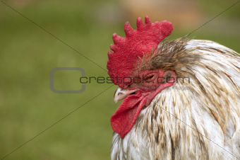 Tired rooster