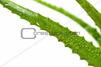 aloe vera leaf isolated on white