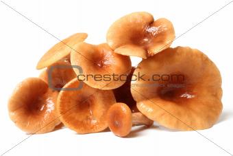 Rufous Milkcap (Lactarius rufus) Mushrooms