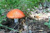 Beautiful red toadstool