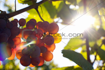 Bunch of grapes by sunshine