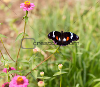 Common eggfly nymph Australian butterfly on pink flowers