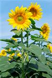 yellow sunflowers against a blue clear sky