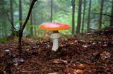 Open Red Mushroom