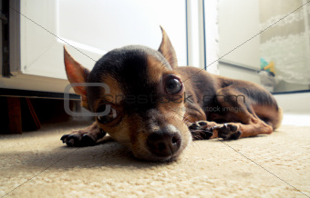 Toy terrier lying on the carpet