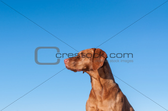 Staring Vizsla dog with blue sky