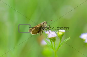 Common Branded Swift butterfly (Pelopidas mathias)