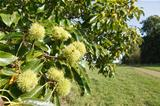 Chestnut tree British countryside
