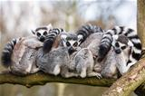 Lemurs hugging