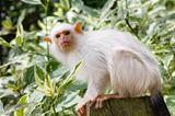 Silvery marmoset