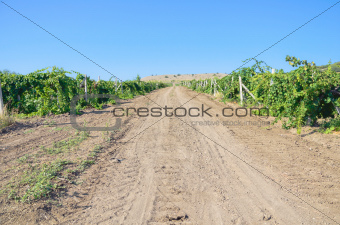 Road in vineyard in summer