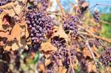 Dry grapes in vineyard