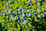 Berries of blackthorn