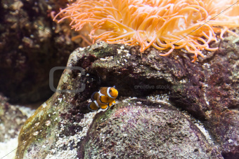 Clownfish in Aquarium