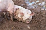 Two pigs in mud