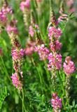 Sainfoin (Onobrychis viciifolia)