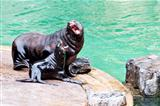 Sea ​​lions playing