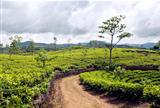 Tea trees on the plantations