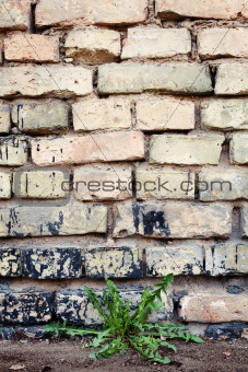 Brick wall and dandelion
