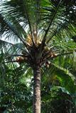 Tropical coconut tree on backyard