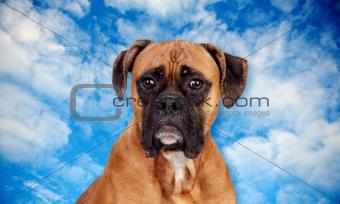 Boxer breed dog