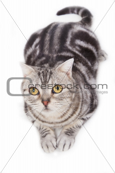 Cute tabby cat looking up