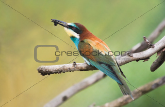 European Bee-eater or Merops apiaster