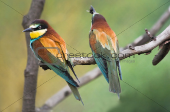 European Bee-eaters on branch