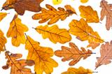 dried autumn oak leaves