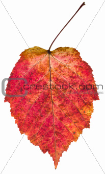 autumn red aspen leaf
