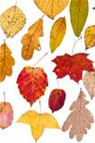 deciduous autumn leaves