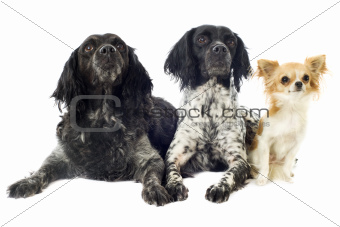 brittany spaniels and chihuahua