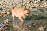 fat chihuahua in the river