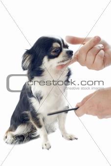 grooming of chihuahua