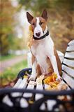 The red bull terrier sits on a bench