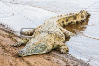 Kenya crocodile
