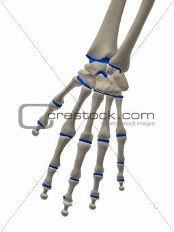 skeletal hand