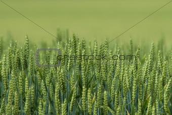 corn field up close