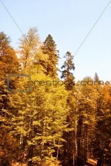 Green forest : autumn