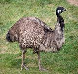 Emu Standing Up