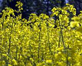 Rapeseed plants in flower