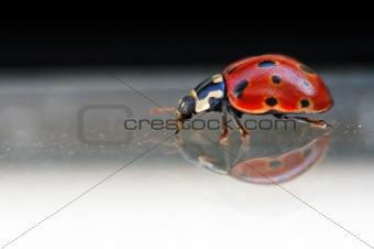 Ladybug on glass