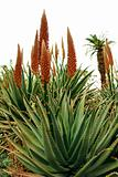 Orange Flowers on Aloe Succulent Plant