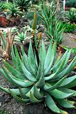 Aloe Succulent Plant Flowering