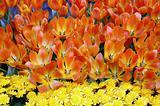 Tulip Flowers in Bloom