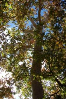Arizona Sycamore Tree