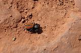 Sedona red-backed spider