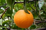 fresh orange with raindrops