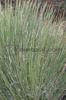 cactus type grass