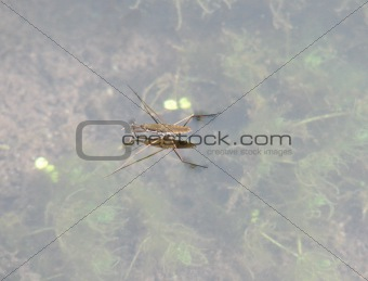 A water bug in the Grand Canyon